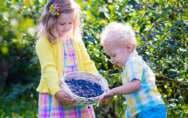 Kids Picking Florida Blueberries
